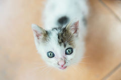 Περιπλανώμενο γατάκι που ικετεύει για τα τρόφιμα Στοκ Φωτογραφίες
