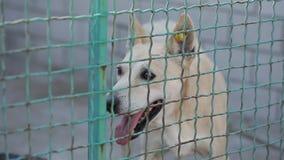 Περιπλανώμενο σκυλί ή εγκαταλειμμένο σκυλί στο κλουβί φιλμ μικρού μήκους