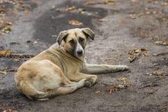 Περιπλανώμενο σκυλί που βρίσκεται σε ένα έδαφος στην εποχή πτώσης και που κοιτάζει με την ελπίδα στοκ φωτογραφία