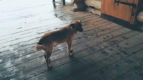 Περιπλανώμενο σκυλί που στέκεται στο ξύλινο μέρος τη βροχερή ημέρα, εγκαταλειμμένα άστεγα ζώα φιλμ μικρού μήκους