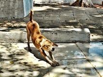 Περιπλανώμενο σκυλί που τεντώνει το σώμα του στοκ εικόνα