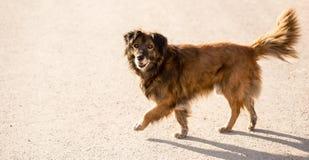 Περιπλανώμενο σκυλί στο δρόμο στην πόλη Στοκ Εικόνα