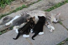 Περιποίηση γατών μητέρων και τριών γατακιών στοκ εικόνα