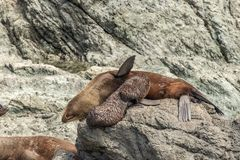 Περιποίηση κουταβιών σφραγίδων γουνών της Νέας Ζηλανδίας στους βράχους στο ακρωτήριο Palliser στοκ φωτογραφίες με δικαίωμα ελεύθερης χρήσης