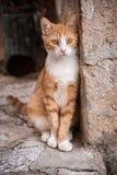 Περιπλανώμενη γάτα οδών σε ιστορικό Dubrovnik, Κροατία Στοκ εικόνα με δικαίωμα ελεύθερης χρήσης