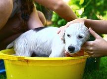 Περιπλανώμενο άσπρο κουτάβι πλυσίματος παιδιών στην κίτρινη λεκάνη Στοκ φωτογραφίες με δικαίωμα ελεύθερης χρήσης