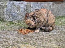 Περιπλανώμενο γατάκι, γάτα που τρώει τα μπισκότα Στοκ φωτογραφίες με δικαίωμα ελεύθερης χρήσης