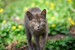 Περιπλανώμενο γκρίζο γατάκι Στοκ Εικόνες