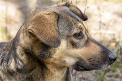 Περιπλανώμενο σκυλί στα ξύλα, πεινασμένος και κουρασμένος Στοκ φωτογραφία με δικαίωμα ελεύθερης χρήσης