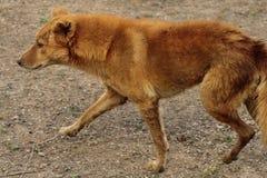 Περιπλανώμενο σκυλί Στοκ Εικόνα