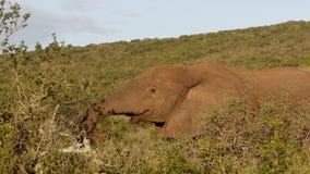 Περισσότερος αφρικανικός ελέφαντας του Μπους τροφίμων Στοκ Φωτογραφία