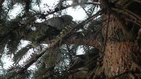 Περιστέρια ζεύγους στο δέντρο απόθεμα βίντεο