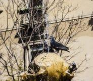 Περιστέρια και πηγή Στοκ εικόνα με δικαίωμα ελεύθερης χρήσης