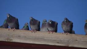 Περιστέρια μερικών άγριων περιστεριών που κάθονται στη στέγη ενός σπιτιού πουλί περιστεριών στο υπόβαθρο μπλε ουρανού περιστεριών απόθεμα βίντεο