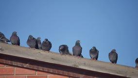 Περιστέρια μερικών άγριων περιστεριών που κάθονται στη στέγη ενός σπιτιού πουλί περιστεριών στο περιστέρι υποβάθρου μπλε ουρανού φιλμ μικρού μήκους