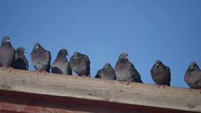 Περιστέρια μερικών άγριων περιστεριών που κάθονται στη στέγη ενός σπιτιού πουλί περιστεριών στο υπόβαθρο περιστεριών μπλε ουρανού φιλμ μικρού μήκους