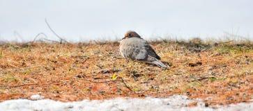 Περιστέρια πένθους, macroura Zenaida τρυγονιών στο έδαφος που εξετάζει τη κάμερα Στοκ εικόνα με δικαίωμα ελεύθερης χρήσης