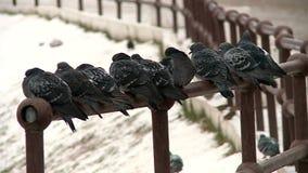 Περιστέρια παπιών και άλλα πουλιά στη λίμνη πόλεων το φθινόπωρο φιλμ μικρού μήκους