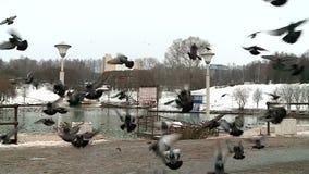 Περιστέρια παπιών και άλλα πουλιά στη λίμνη πόλεων το φθινόπωρο απόθεμα βίντεο