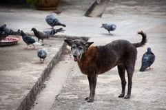 Περιστέρια περιπλανώμενων σκυλιών και υποβάθρου Στοκ Εικόνες