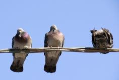 περιστέρια πουλιών Στοκ Εικόνες