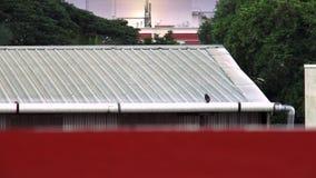 Περιστέρια που εγκαθιστούν στη στέγη του σπιτιού και που πετούν κάτω φιλμ μικρού μήκους