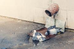 Περιστέρια που λούζουν σε μια λακκούβα στοκ φωτογραφία με δικαίωμα ελεύθερης χρήσης