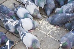 Περιστέρια που ραμφίζουν τα τρόφιμα Στοκ Φωτογραφίες