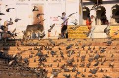 Περιστέρια που ταΐζουν κοντά στην ιερή λίμνη, Pushkar, Ινδία Στοκ εικόνες με δικαίωμα ελεύθερης χρήσης