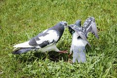 Περιστέρια που φιλούν και που ζευγαρώνουν στο πάρκο μια θερινή ημέρα στοκ φωτογραφία