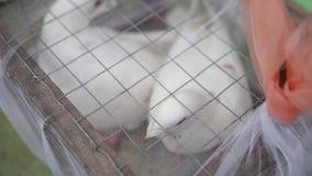 Περιστέρια σε ένα κλουβί για το νεόνυμφο και το νεόνυμφο απόθεμα βίντεο