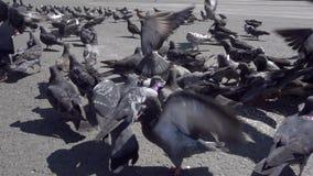 Περιστέρια σε σε αργή κίνηση απόθεμα βίντεο
