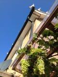 Περιστέρια σπιτιών και επίσκεψης σταφυλιών Στοκ εικόνα με δικαίωμα ελεύθερης χρήσης