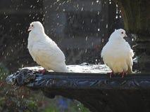 Περιστέρια στην πηγή που έχει το λουτρό πουλιών Στοκ φωτογραφία με δικαίωμα ελεύθερης χρήσης