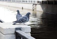 Περιστέρια στον περίπατο Στοκ εικόνα με δικαίωμα ελεύθερης χρήσης