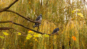Περιστέρια στο δέντρο Στοκ φωτογραφία με δικαίωμα ελεύθερης χρήσης