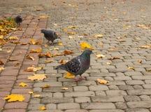 Περιστέρια στο πάρκο φθινοπώρου Στοκ φωτογραφία με δικαίωμα ελεύθερης χρήσης