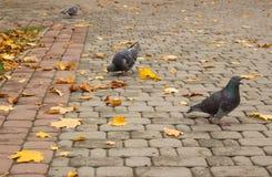 Περιστέρια στο πάρκο φθινοπώρου στοκ φωτογραφίες