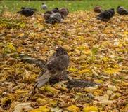 Περιστέρια στο πάρκο φθινοπώρου Στοκ εικόνες με δικαίωμα ελεύθερης χρήσης