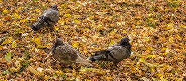 Περιστέρια στο πάρκο φθινοπώρου Στοκ Εικόνες