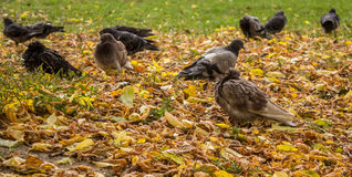 Περιστέρια στο πάρκο φθινοπώρου Στοκ Φωτογραφία