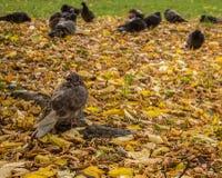 Περιστέρια στο πάρκο φθινοπώρου Στοκ φωτογραφίες με δικαίωμα ελεύθερης χρήσης
