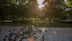Περιστέρια στο πάρκο απόθεμα βίντεο