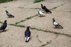 Περιστέρια στο πεζοδρόμιο στο κεντρικό τετράγωνο πόλεων/το κοπάδι Α των πουλιών, περιστέρια στην οδό πόλεων, στο σκυρόδεμα σχεδίω Στοκ Εικόνα