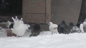 Περιστέρια στο χειμερινό ναυπηγείο απόθεμα βίντεο