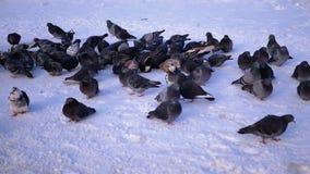 Περιστέρια στο χιόνι το χειμώνα απόθεμα βίντεο