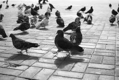 Περιστέρια Στοκ Φωτογραφίες