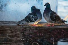 περιστέρια Στοκ φωτογραφίες με δικαίωμα ελεύθερης χρήσης