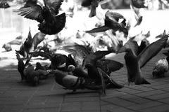 περιστέρια Στοκ εικόνες με δικαίωμα ελεύθερης χρήσης