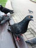 περιστέρια Στοκ φωτογραφία με δικαίωμα ελεύθερης χρήσης